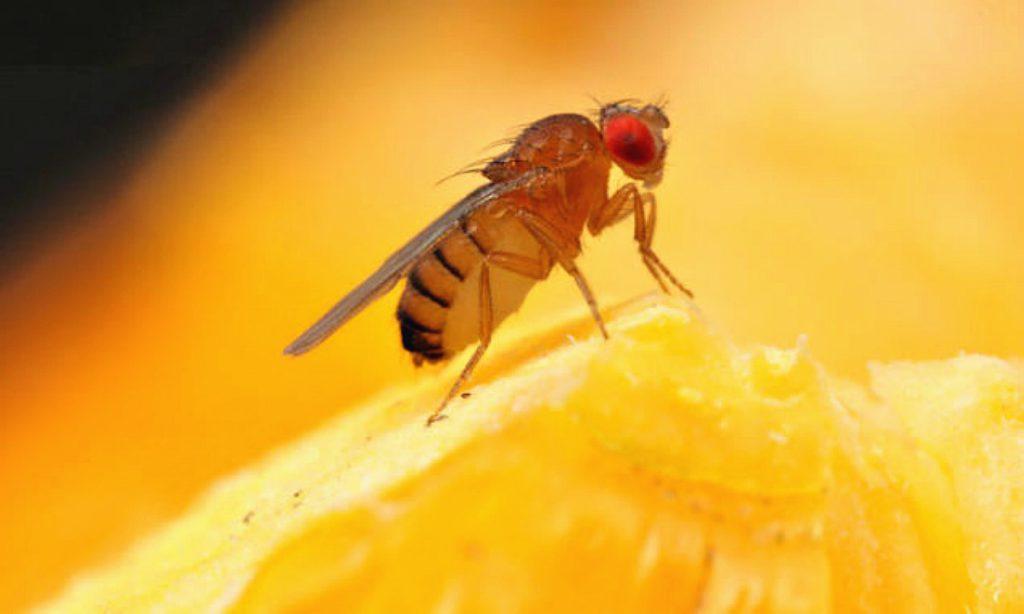 De 5 beste manieren om fruitvliegen te bestrijden