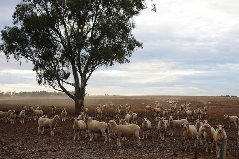 DEs moutons dans le bush de l'Australie