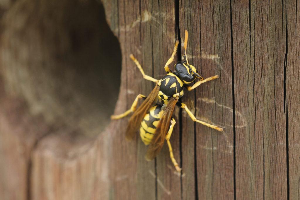 7 tips om wespen op afstand te houden
