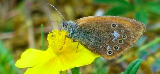 Une espèce de papillon refait surface en Belgique après 25 ans d'absence