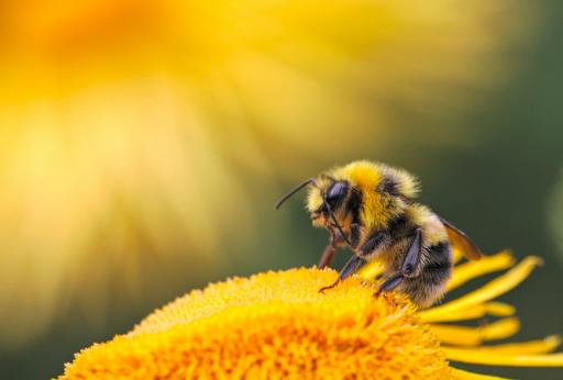 Le venin d'abeille pourrait 'éradiquer des cellules cancéreuses en 60 minutes'