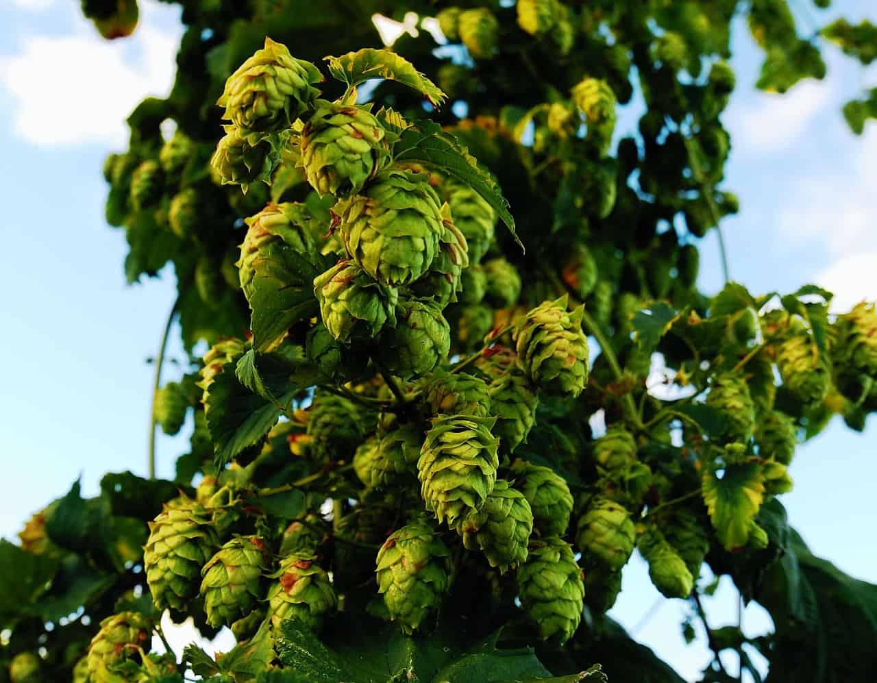 Une plante avec de nombreux cônes de houblon vert.