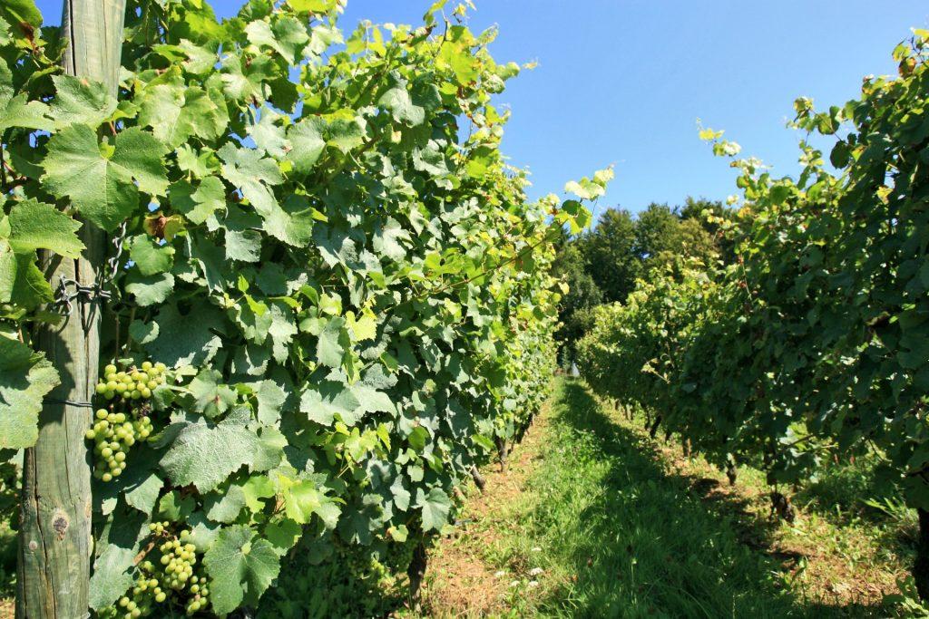 Wijngaard in Torgny, in het zuiden van de provincie Luxemburg.