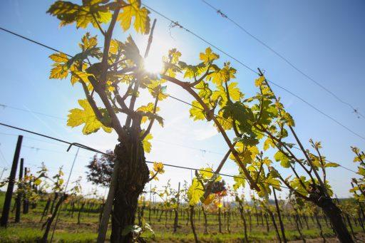 Een wijngaard in Namen.