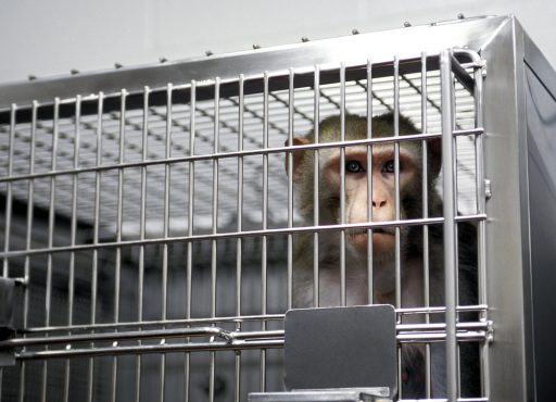 Waarom de wereld dringend meer apen nodig heeft in de strijd tegen Covid-19