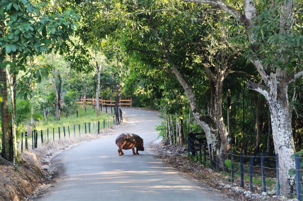 de nijlpaarden van Escobar
