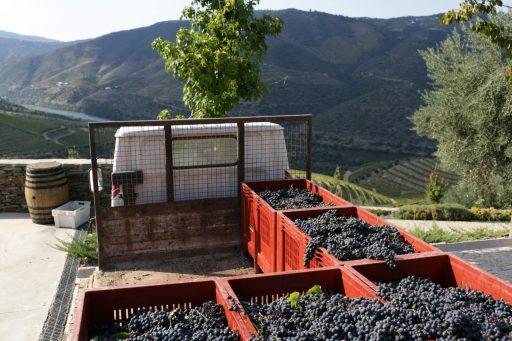 Portugese wijn wordt populair(der)
