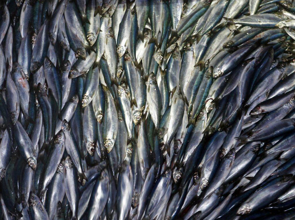 haring vissen