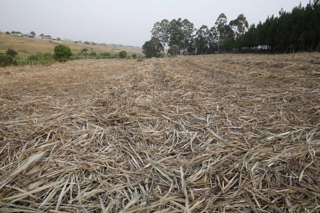 plantation cannes a sucre