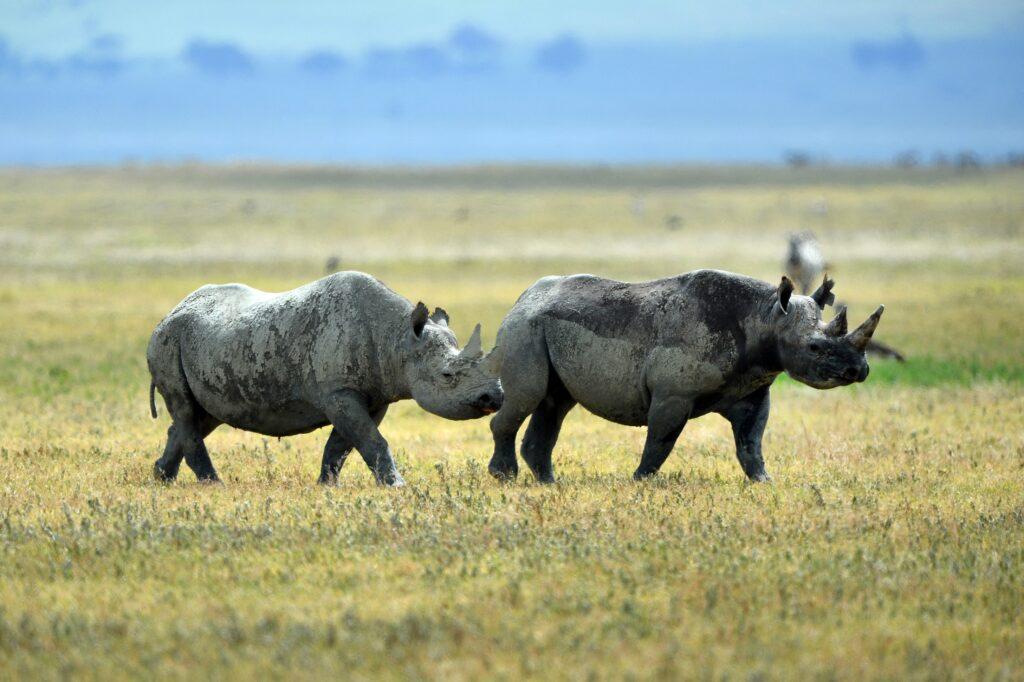 Zwarte neushoorns in Tanzania