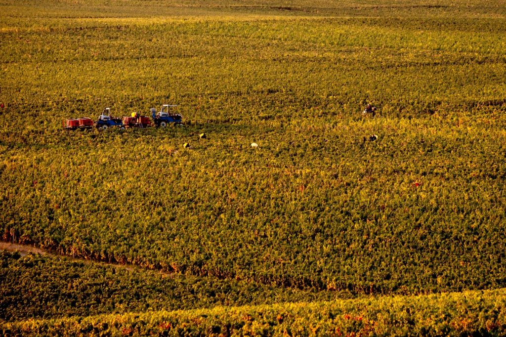 Bourgogne druiven oogst