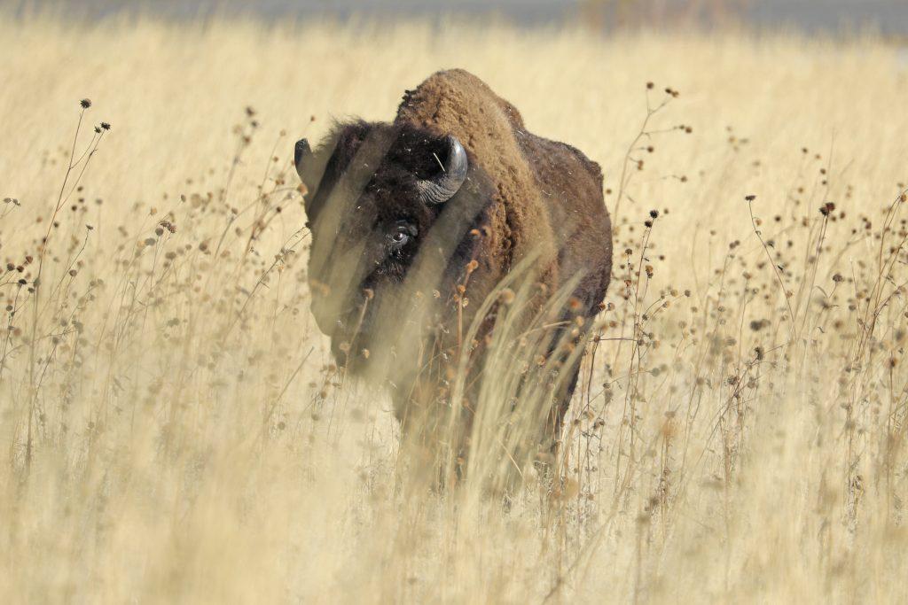 Noord-Amerikaanse bizon