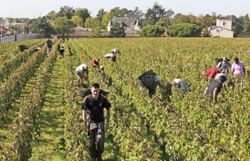 Vendanges 2020: les vignerons craignent de manquer de bras