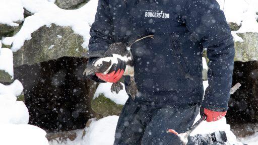 Pinguïn Binnen Koud