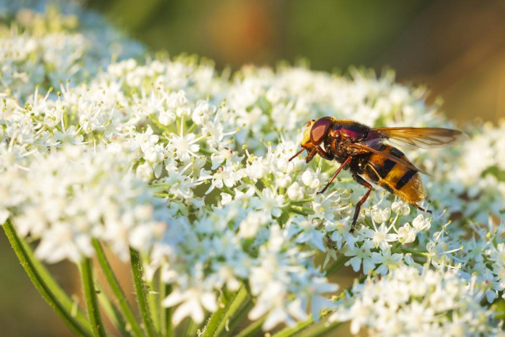 Hoe gevaarlijk is de steek van een hoornaar?