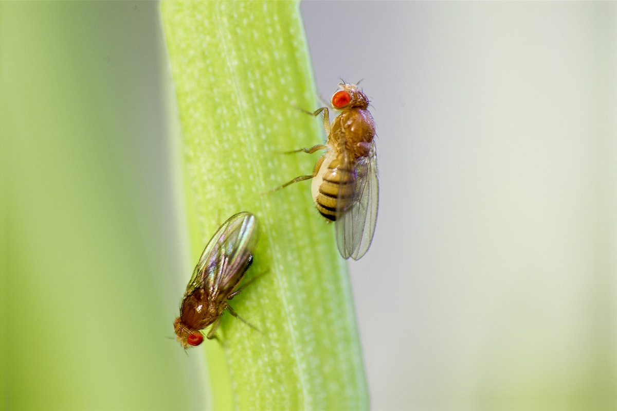 Fatigué des mouches des fruits ? Quelques astuces pour les combattre