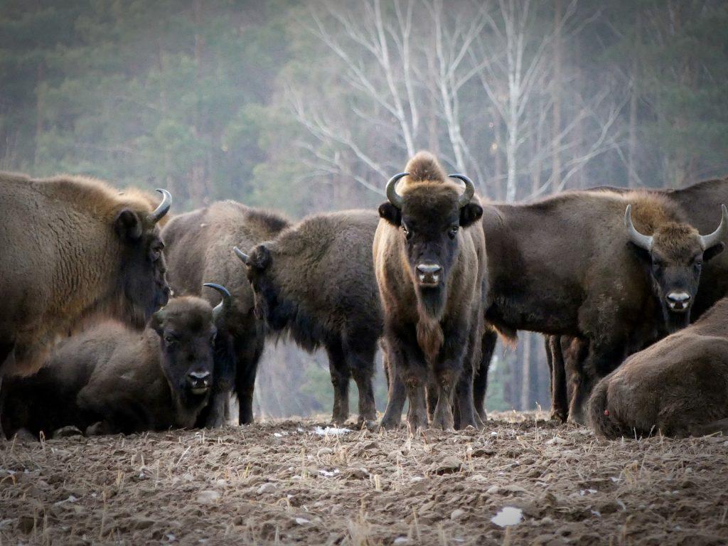 Big Five Europa - bizon
