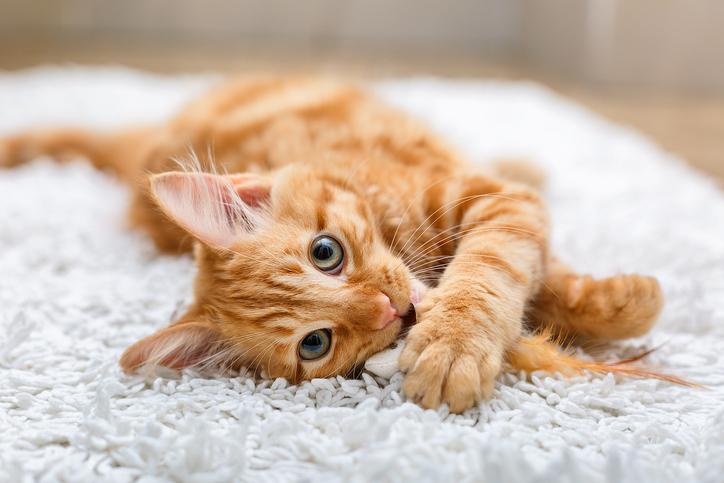 Dit zijn de populairste kattenrassen
