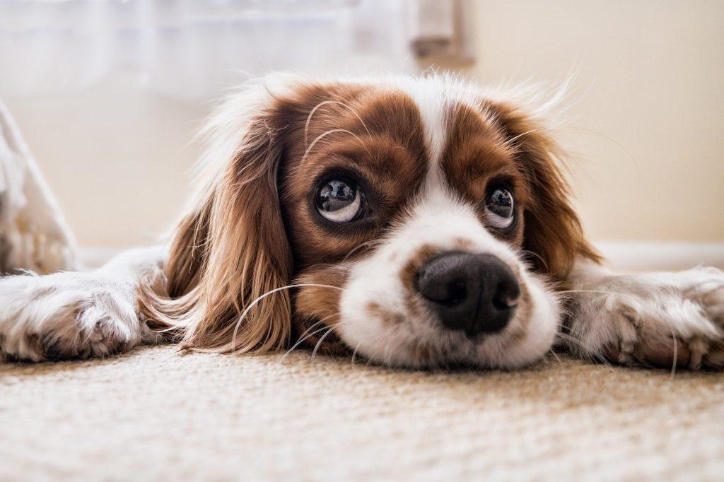 Les chiens pourraient-ils être des vecteurs du Covid-19?