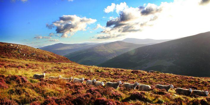 sheep nature hike