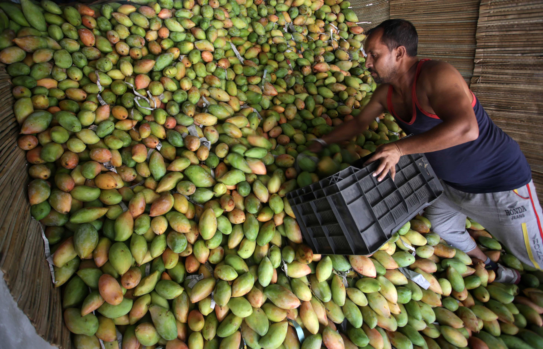 Een man graait in een massa mango's, terwijl hij een bak vasthoudt.