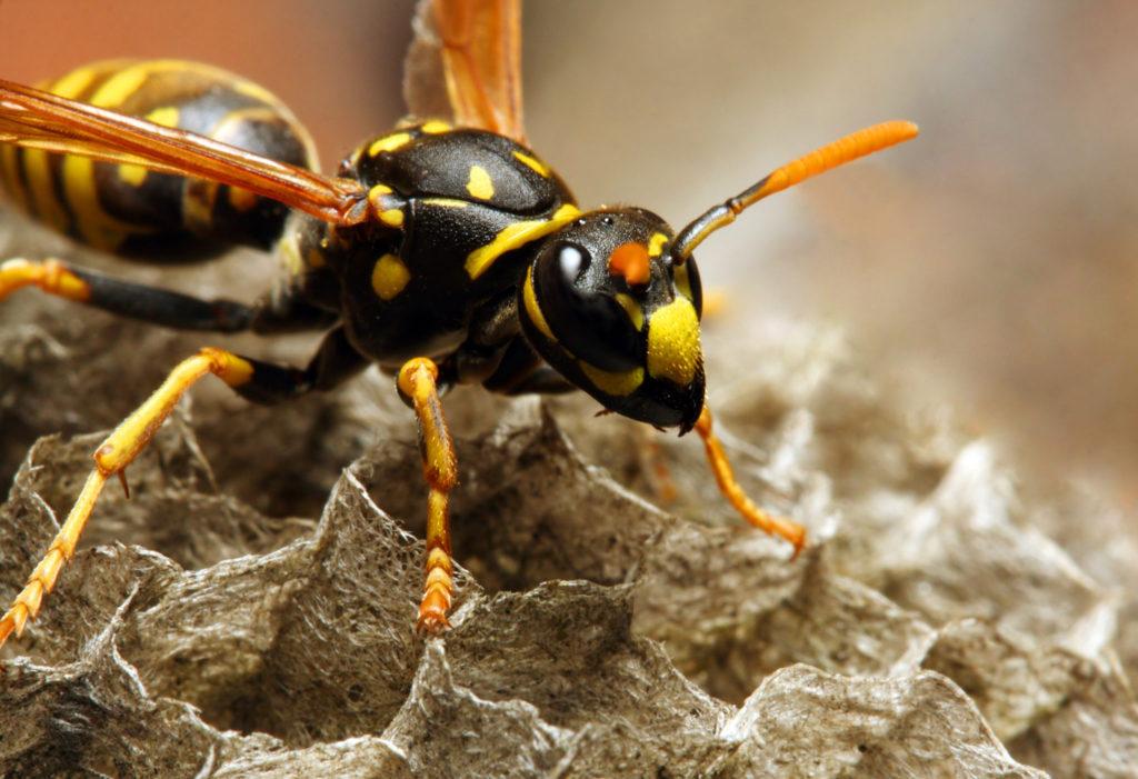 Weg met wespen: do's en don'ts