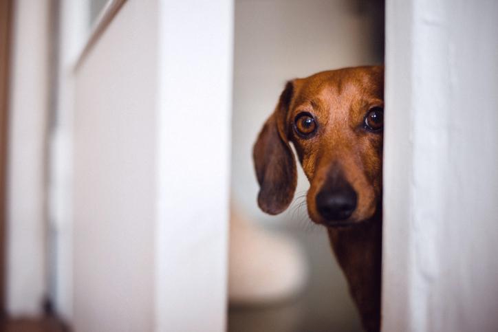 'Honden nauwkeuriger in het opsporen van coronabesmetting dan sneltests'
