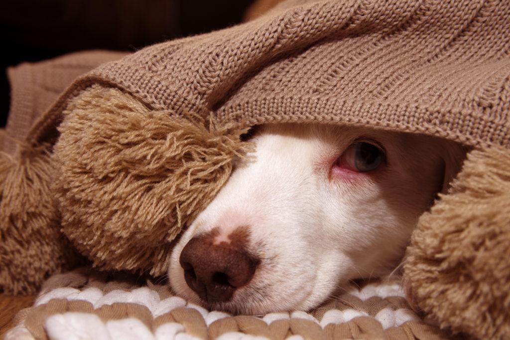 Kunnen huisdieren besmet raken met het coronavirus en kunnen zij dat overdragen?