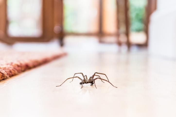 Spinnenseizoen? De expert zegt dat het helemaal niet bestaat + waarom het goed is om de beestjes in huis te hebben