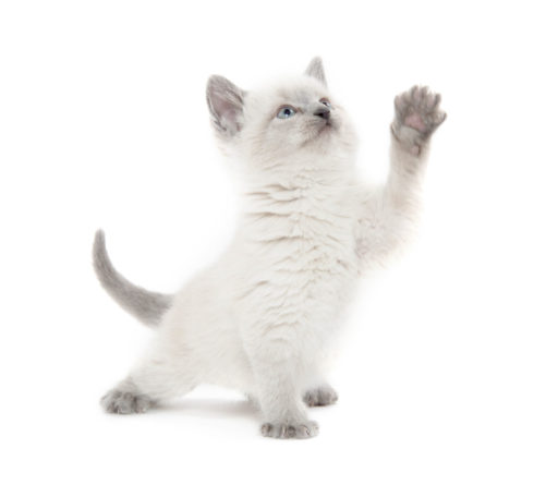 Lintwormen bij katten