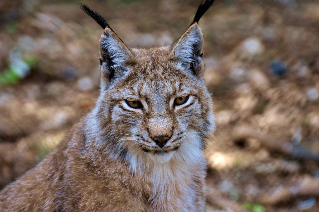 Big Five Europa - lynx