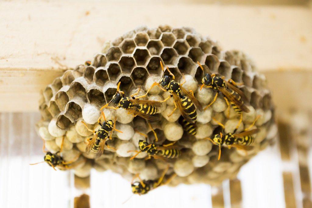 Weg met de wespen in huis!