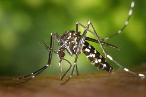 750 millions de moustiques génétiquement modifiés relâchés pour détruire leur propre descendance