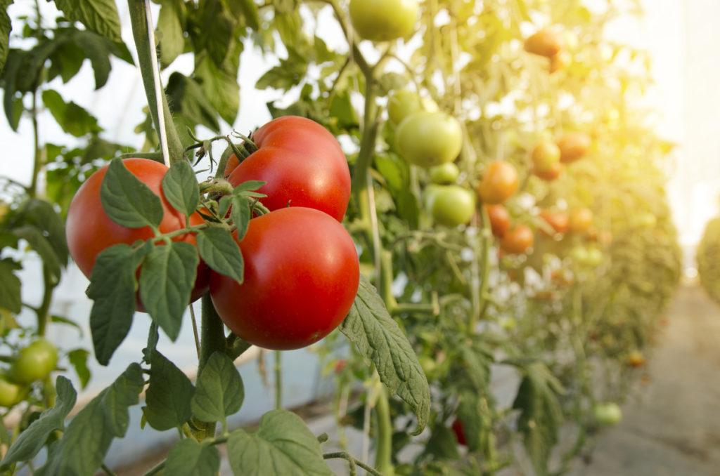Voedingsstoffen in tomaten: Calorieën, koolhydraten en gezondheidsvoordelen van de tomaat