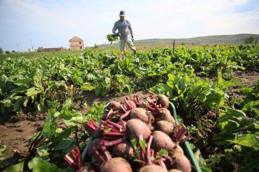 Jusqu'à 50% de pertes: la jaunisse menace la production européenne de sucre