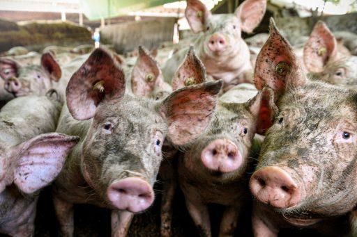 Afrikaanse varkenspest in Duitsland bezorgt Belgische varkenshouders nachtmerries