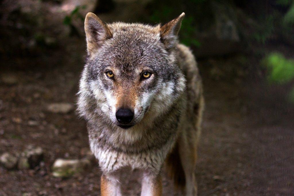 Big Five Europa - wolf